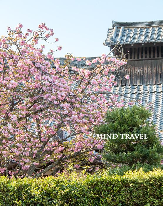 髄心院 八重桜