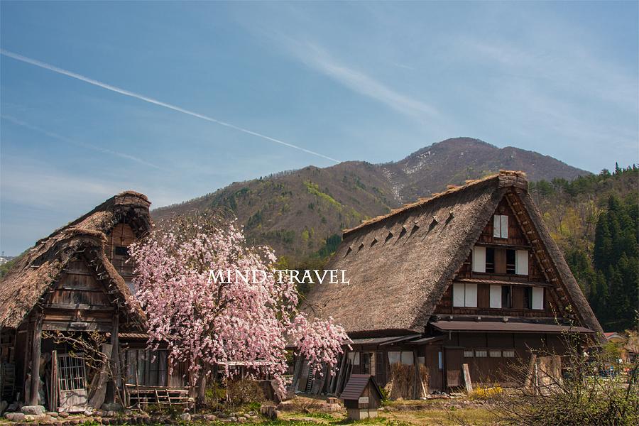白川郷 桜