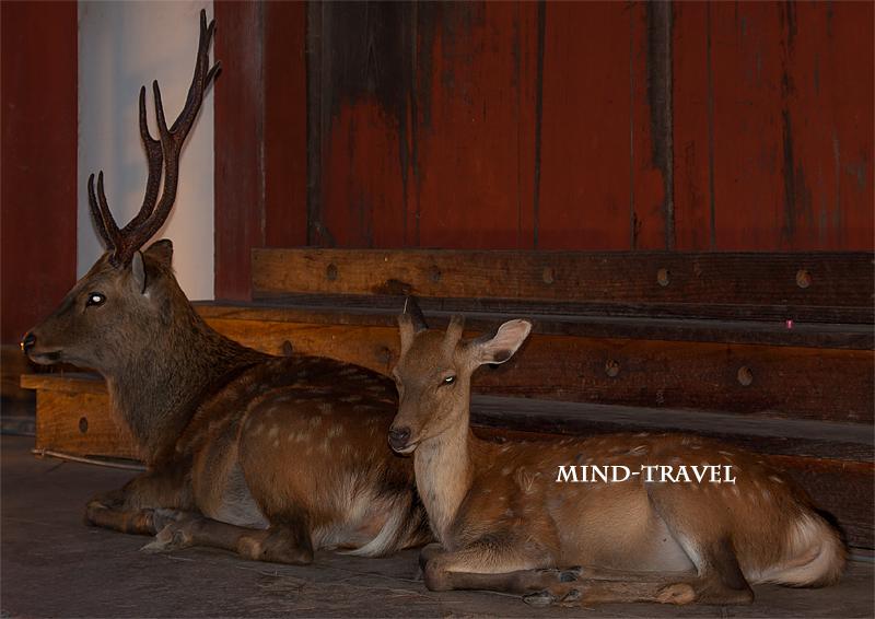 大仏殿 鹿のカップル