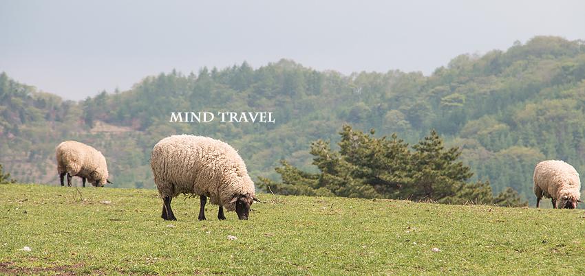 大笹牧場 羊