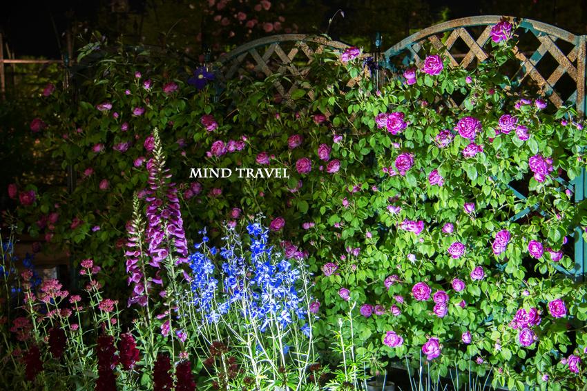 足利フラワーパーク 薔薇 ライトアップ2