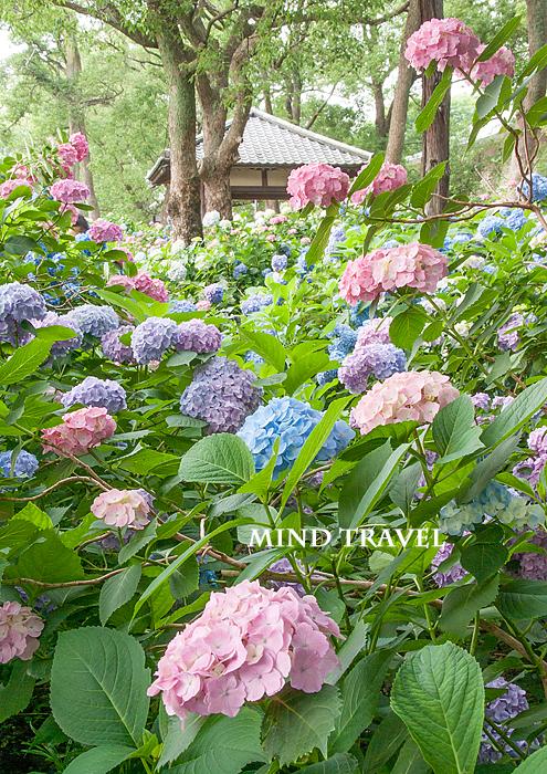藤森神社 紫陽花