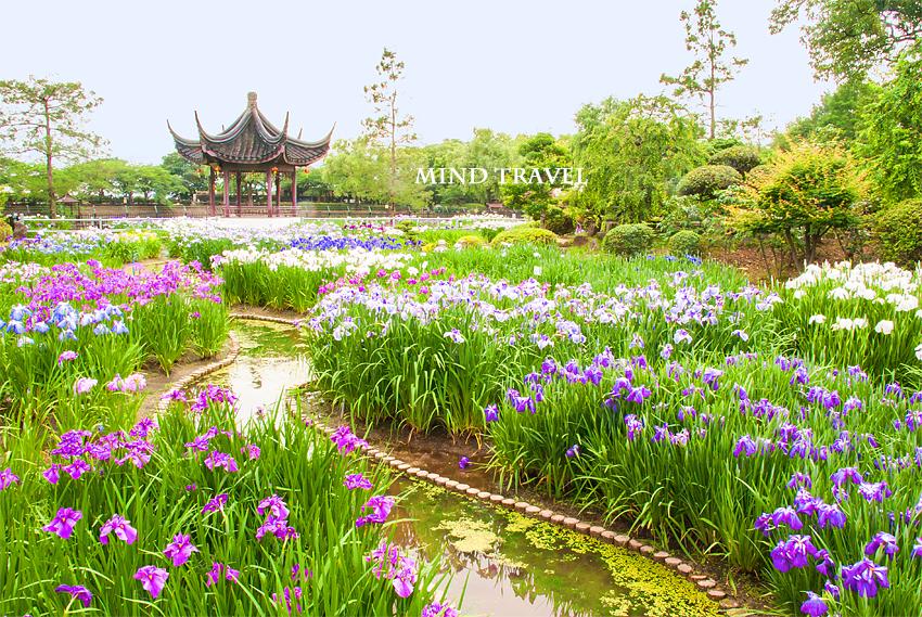 水月公園 花菖蒲