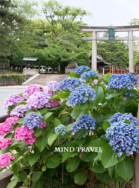 豊国神社 紫陽花