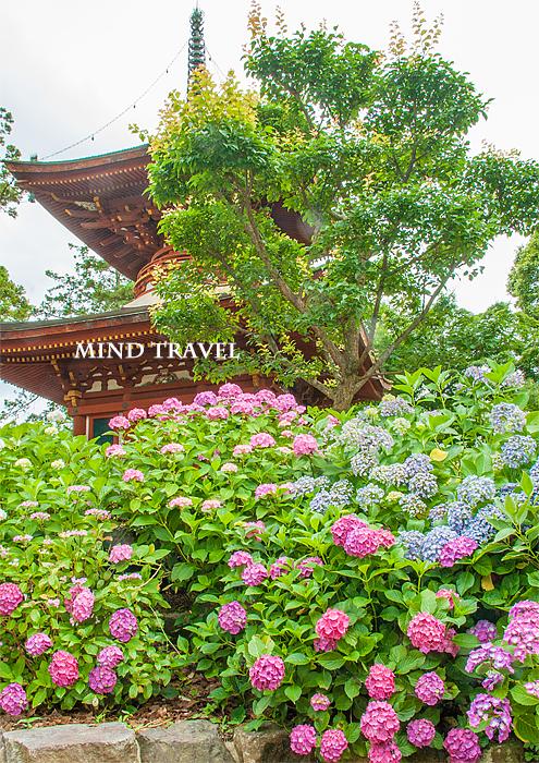 久米寺 紫陽花