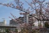 神戸市営名谷駅東住宅 近くの桜満開