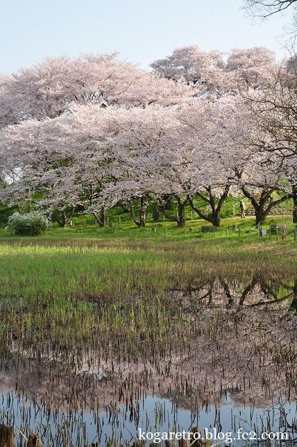 2016さきたま古墳の桜2