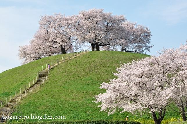2016さきたま古墳の桜4