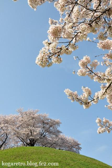 2016さきたま古墳の桜5