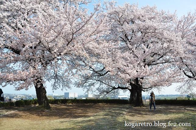 2016さきたま古墳の桜7