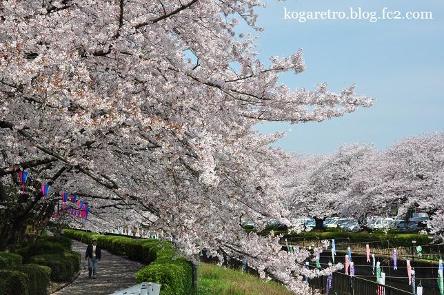 2016館林の桜とこいのぼり2