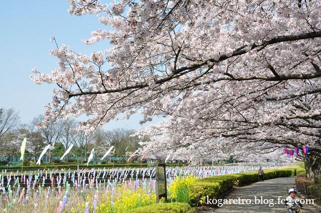 2016館林の桜とこいのぼり5