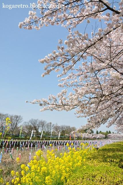 2016館林の桜とこいのぼり6