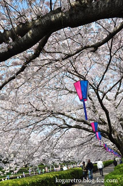 2016館林の桜とこいのぼり8