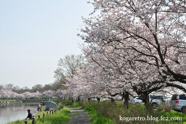 群馬の水郷の桜
