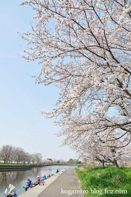 群馬の水郷の桜2