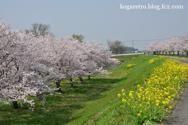 群馬の水郷の桜3