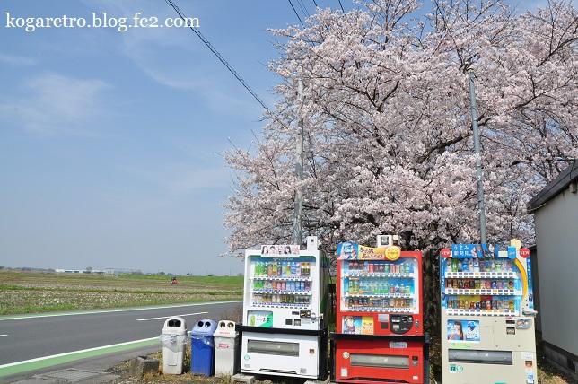 群馬の水郷の桜5