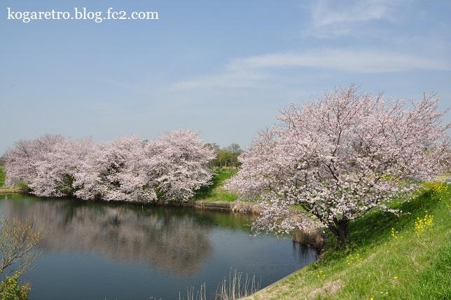 天神池公園の桜
