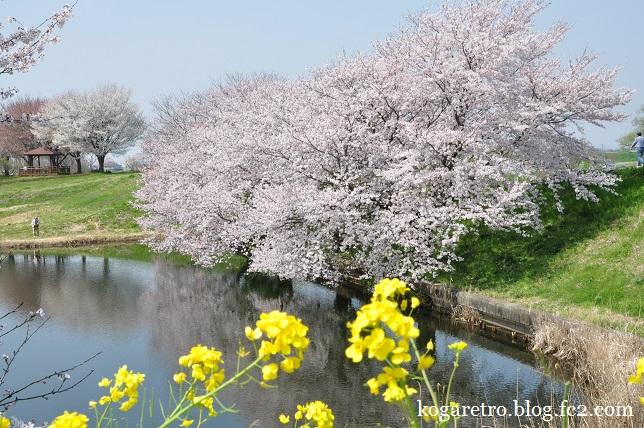 天神池公園の桜2
