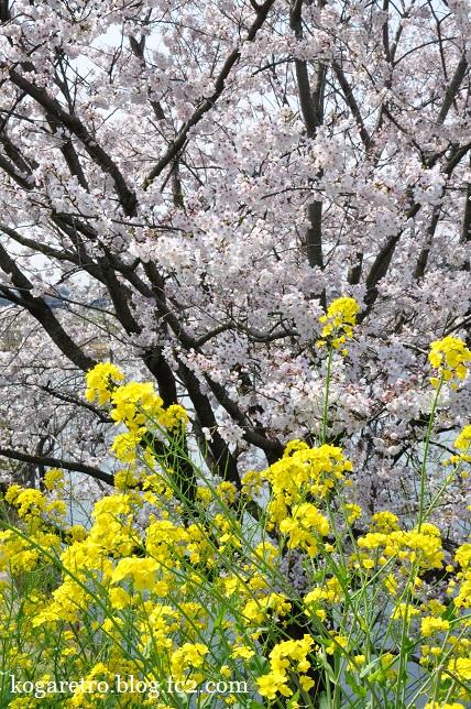 天神池公園の桜3
