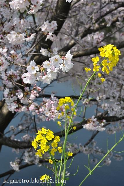 天神池公園の桜4