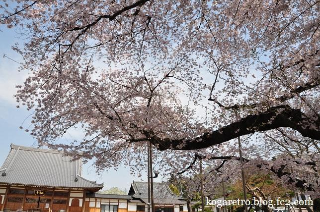 2016満福寺の桜2