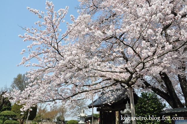 2016満福寺の桜3