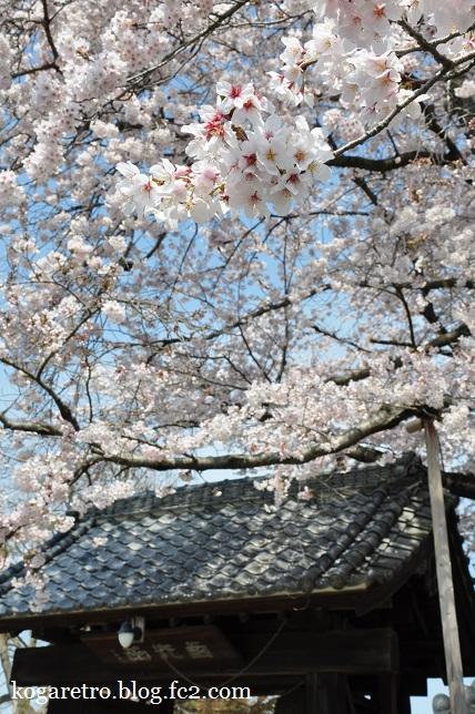 2016満福寺の桜4