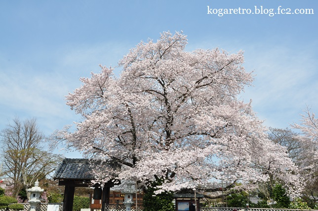 2016満福寺の桜