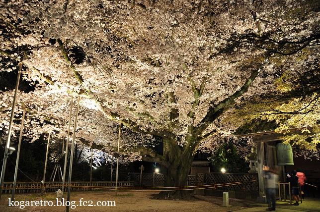 2016満福寺の夜桜2