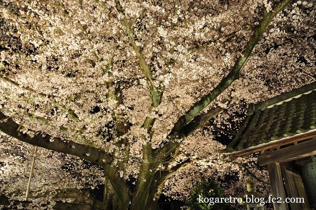 2016満福寺の夜桜3