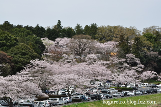 水戸偕楽園の桜6