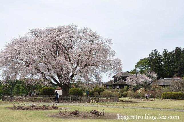 水戸偕楽園の桜