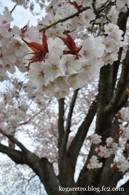 水戸偕楽園の桜2