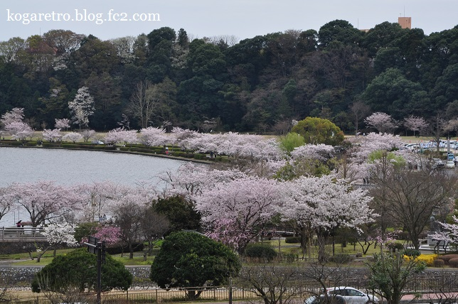 水戸偕楽園の桜3