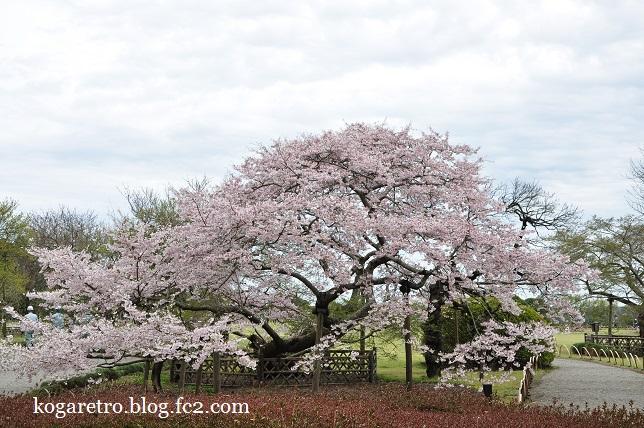 水戸偕楽園の桜4