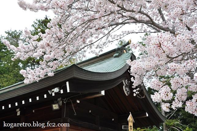 茨城県護国神社の桜3