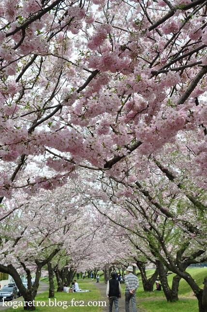 2016小山の思川桜2