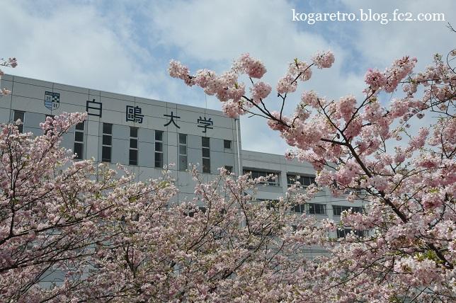 2016小山の思川桜
