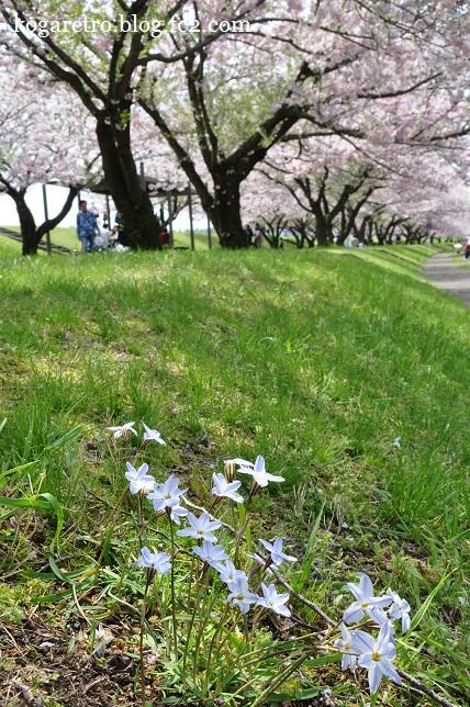 2016小山の思川桜6