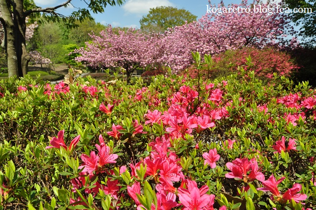 天平の丘公園の桜3