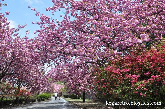 天平の丘公園の桜7
