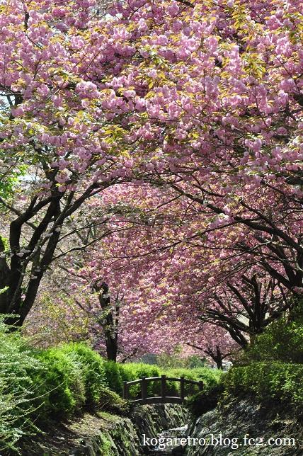 天平の丘公園の桜8