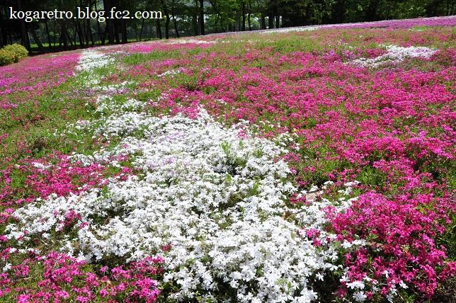 2016野木の芝桜3