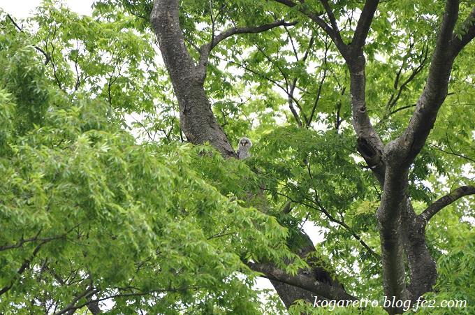 2016野木のフクロウ