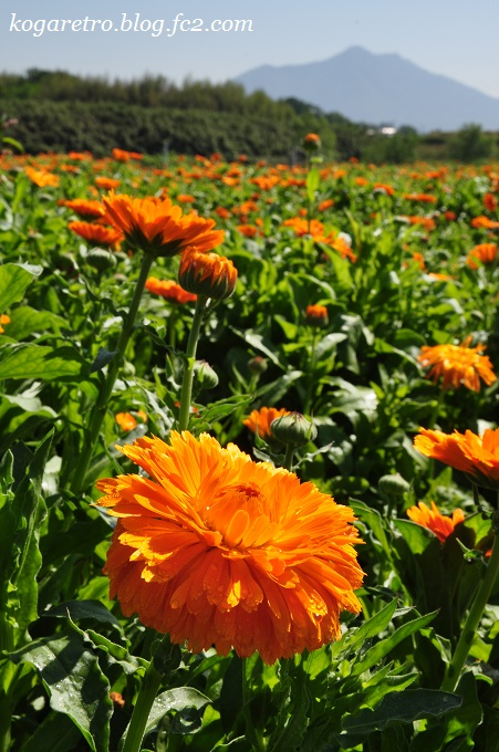 小貝川の花畑2