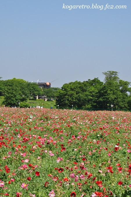 小貝川の花畑3