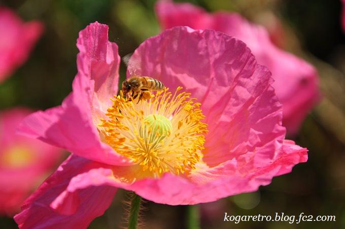 小貝川の花畑4