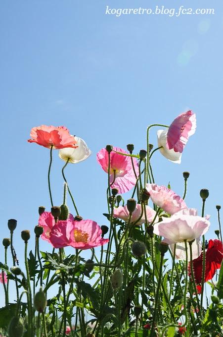 小貝川の花畑5